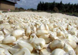 Nuru Kenya Agriculture Long Rains Season Harvest in Photos: August 2014