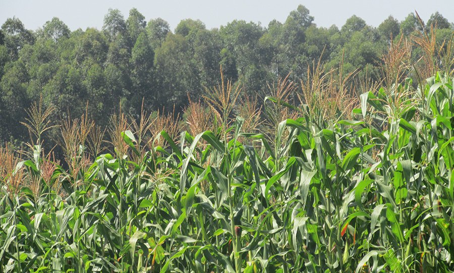 Healthy maize crops of Eunice Matingi Marwa, a Nuru Kenya farmer