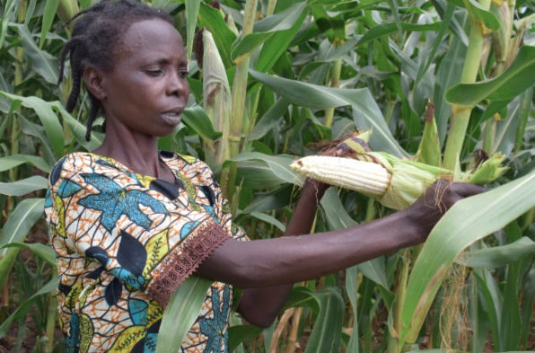 Penina Bunyige unwrapping the maize in her farm to confirm whether they are healthy