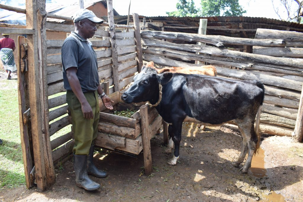 man feeding his cow in Kenya