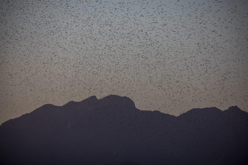 desert locusts flying through the sky