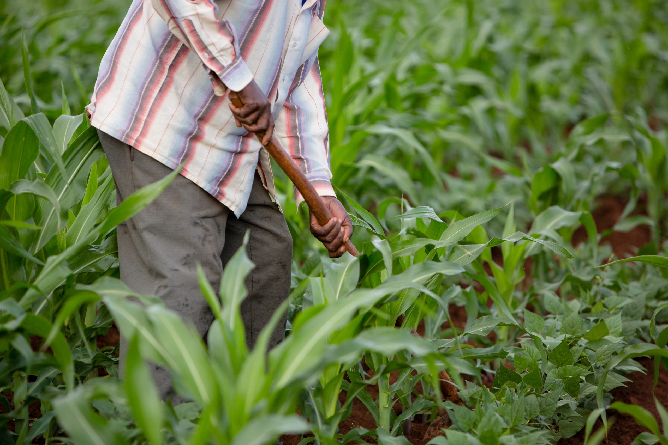 farmer working in field of crops